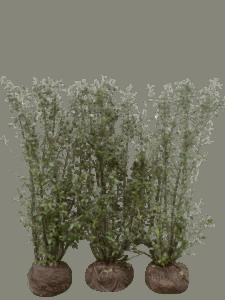 Häckoxbär