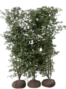 Trubbhagtorn