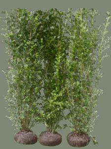 Bredbladig liguster