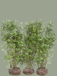 Aronia svartbär