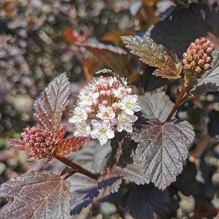 Blærespiræa Diabolo blomster