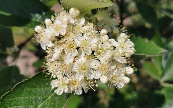 Sølvrøn blomster
