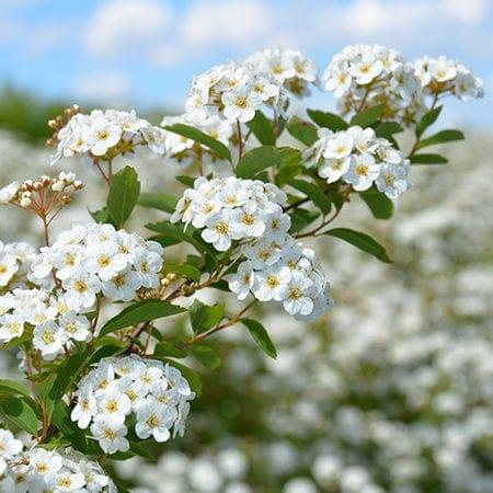 Spirea vanhouttei blomster øverst