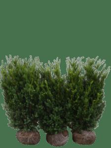 Hybrididegran Hillii