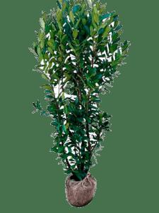 Green Torch