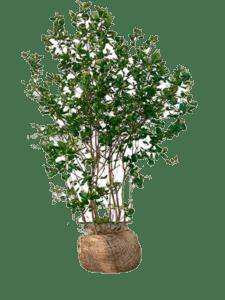 Surbær busk