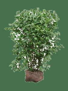 Syren buske
